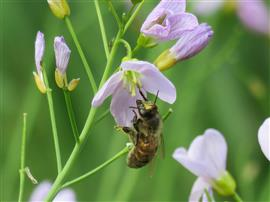 Honingbij-op-pinksterbloem-4752-Foto-Koos-Dijksterhuis-ndb-do9.6.16